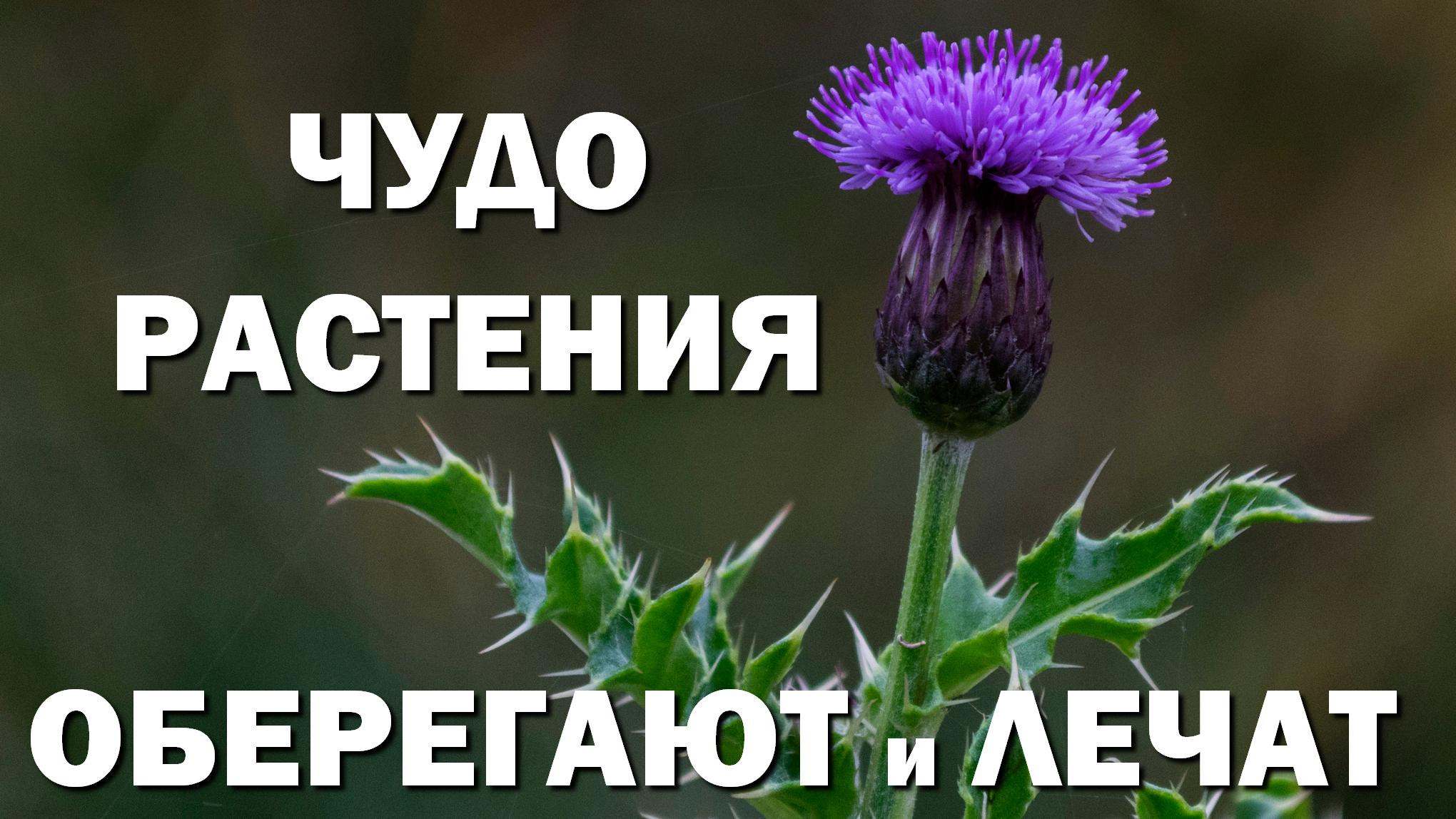 Чудо растения нас оберегают и лечат