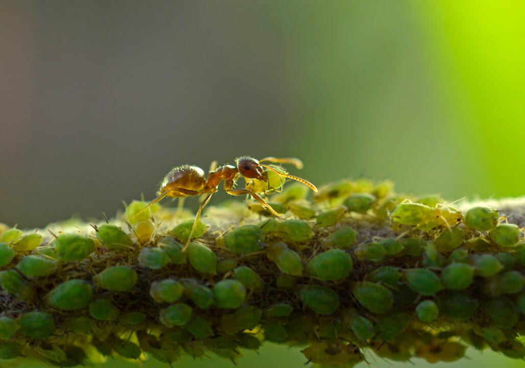 Про животных симбиоз муравьи и тля