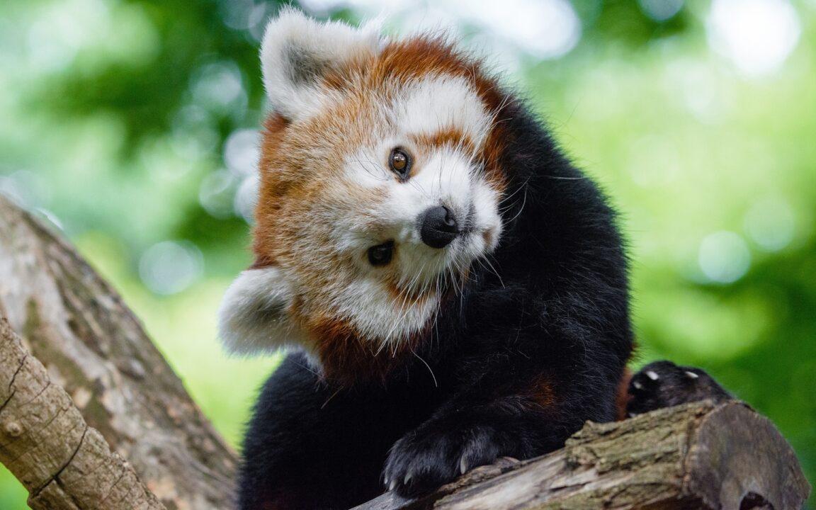 Животные на грани вымирания - красная малая панда