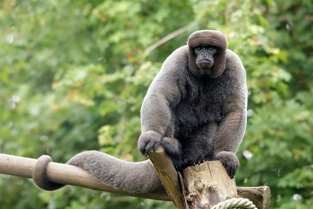 Серая шерстистая обезьяна